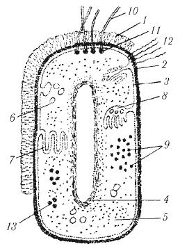 bakterii2