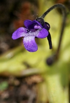 pinguicula_vulgaris