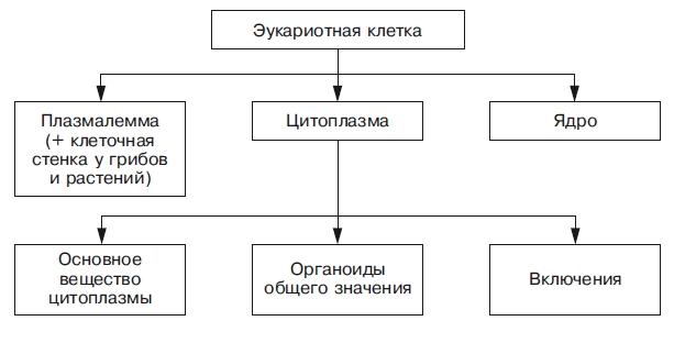 kletka_eykariot_sxema